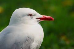 Slut upp av seagullen med den röda näbb Royaltyfri Foto
