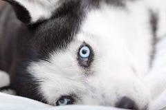 Slut upp av siberian huskys ögon Royaltyfri Fotografi