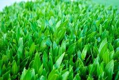 Slut upp av sidabuxusen Buxusbladcloseup Grön buxus Ny ung buxus arkivfoton