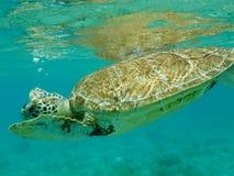 Slut upp av simning för sköldpadda för grönt hav (Cheloniamydas) Arkivfoton