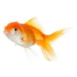 Slut upp av simningguldfisken royaltyfri fotografi