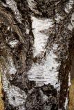 Slut upp av skället på träd Arkivfoto