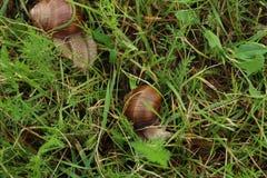 Slut upp av snigeln i gräset arkivfoton