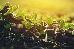 Slut upp av sojabönaväxten i fält Arkivbild
