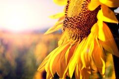 Slut upp av solrosen Royaltyfri Bild