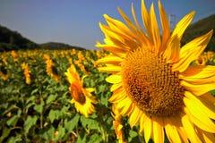 Slut upp av solrosen Royaltyfri Fotografi