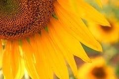Slut upp av solrosen Fotografering för Bildbyråer
