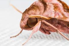 Slut upp av Sphingidaefamiljen av malar Arkivfoto