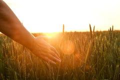 Slut upp av spicaen för korn för hand för kvinna` s den rörande, grönt veteöra på det stora odlingfältet, mjukt orange solnedgång royaltyfria foton