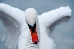 Slut upp av svanen som sträcker vingar royaltyfria foton