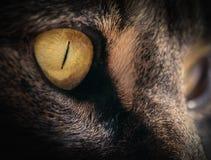 Slut upp av Tabbys Cats Amber Eye Royaltyfria Foton