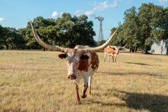 Slut upp av Texas Longhorn och väderkvarnen Royaltyfri Fotografi