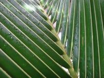 Slut upp av torkade kokosnötsidor i trädgården Arkivbilder