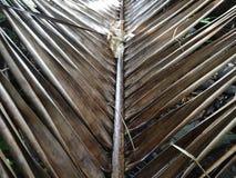 Slut upp av torkade kokosnötsidor i trädgården Royaltyfri Foto