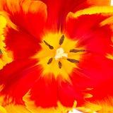 Slut upp av Tulip Center Royaltyfria Bilder