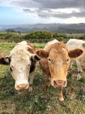 Slut upp av två bruna kor som ser kameran Royaltyfri Foto