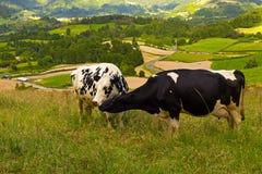 Slut upp av två som till varandra ansar kor på ett gräs- fält i Azores, Portugal Royaltyfria Foton