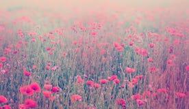 Slut upp av vallmoblommor Mjuk fokus av vallmofältet Pastellfärgad ton Arkivfoto