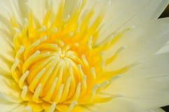 Slut upp av vatten lilly royaltyfri foto