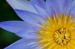 Slut upp av vatten lilly fotografering för bildbyråer