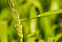 Slut upp av vete- eller kornstammen Arkivfoton