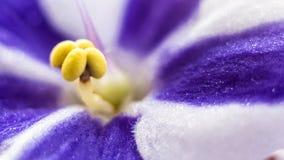 Slut upp av violetsblommorna Royaltyfri Bild