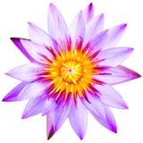 Slut upp av violetta den isolerade lotusblommablomman royaltyfri foto
