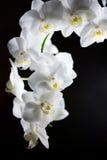 Slut upp av vita orkidér mot svart Fotografering för Bildbyråer