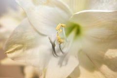 Slut upp av vitgräsplanblomman och dess gula pollenforscomi Royaltyfria Bilder