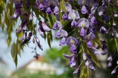 Slut upp av wisteriaen i blom arkivbilder