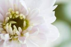 Slut upp bakgrund av ljus - rosa krysantemumblomma, makro arkivfoton