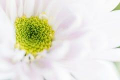 Slut upp bakgrund av ljus - rosa krysantemumblomma, makro arkivfoto