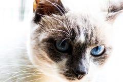 Slut upp blå synad katt royaltyfria foton