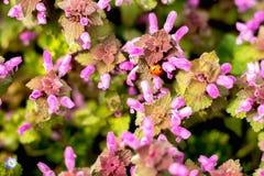 Slut upp blommor och nyckelpiga för härlig vår purpurfärgade stock illustrationer