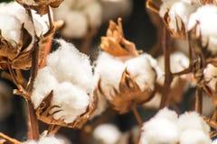 Slut upp bomullsväxten Royaltyfri Foto