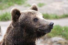 Slut upp brunbjörn Royaltyfri Fotografi