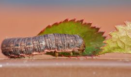 Slut upp Caterpillar med bruna och svarta modeller royaltyfri bild