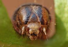 Slut upp Caterpillar med bruna och svarta modeller arkivbilder