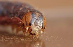 Slut upp Caterpillar med bruna och svarta modeller royaltyfri foto