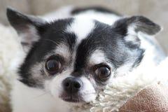 Slut upp Chihuahua Arkivbild