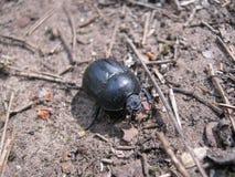 Slut upp Coleoptera Arkivfoton