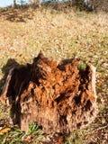 Slut upp den bruna wood stubben för döda som ruttnar knäckt textur Royaltyfria Foton