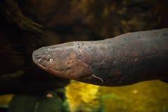 Slut upp den elektriska ålen Royaltyfri Fotografi
