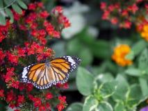 Slut upp den gemensamma Tiger Danaus för härlig orange fjäril genutiaen på den röda blomman med grön trädgårdbakgrund royaltyfri foto