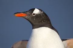 Slut upp den Gentoo pingvinet (pygoscelisen papua) Royaltyfri Foto