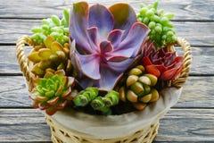 Slut upp den gulliga färgrika suckulenta växten i korg på trätabellen royaltyfri foto