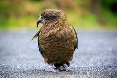 Slut upp den härliga färgfjädern, fjäderdräkt av keafåglar med suddighet Royaltyfria Foton