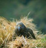 Slut upp den härliga färgfjädern, fjäderdräkt av keafåglar med suddighet Royaltyfria Bilder