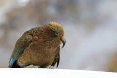 Slut upp den härliga färgfjädern, fjäderdräkt av keafåglar med suddighet Fotografering för Bildbyråer