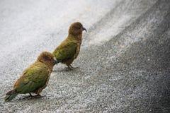 Slut upp den härliga färgfjädern, fjäderdräkt av keafåglar med suddighet Arkivbilder